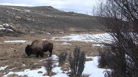 A lone bison searches for food in early spring Footage