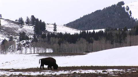 A lone bison searches for food on a small patch of bare ground Footage