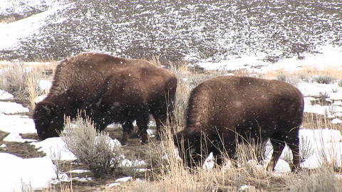 A herd of bison graze hungrily during a light snow on the... Stock Video Footage