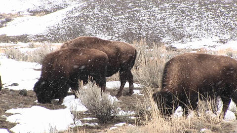 A herd of bison graze hungrily during a light snow on the prairie Footage