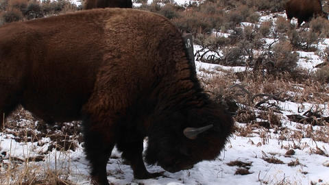 A bison takes time out from grazing to get a good facial... Stock Video Footage