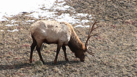 A male elk with a large rack of antlers grazes on winter grasses Footage