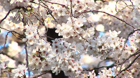 The camera pans up a dogwood tree for a close look at its blossoms dancing in the wind Footage