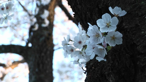 A close-up look at a spray of dogwood blossoms wrapped... Stock Video Footage