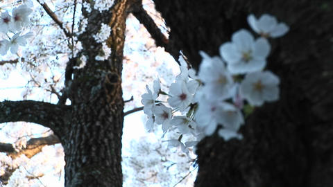 A close-up look at a spray of dogwood blossoms wrapped around trunk of the tree Footage
