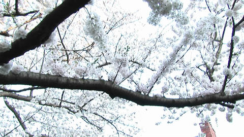The camera pans down a flowering dogwood tree to focus on... Stock Video Footage