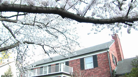 The camera pans down a flowering dogwood tree to focus on a red brick colonial home in background Footage