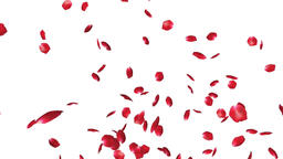 Rose petals Flying, against white Animation