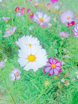 Close up of cosmos flowers Fotografía