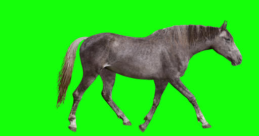 Gray Horse Looping Gaits Animation
