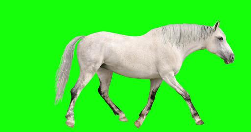 White Horse Looping Gaits Animation