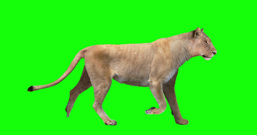 Lioness Looping Gait Cycles Videos animados