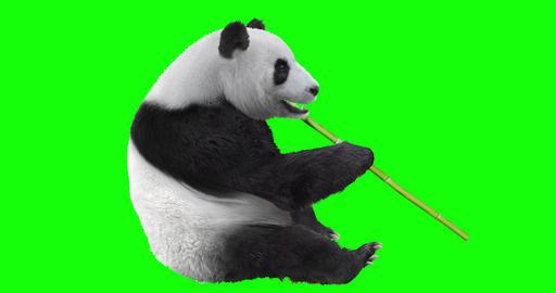 Panda Bear Eating Bamboo Animation