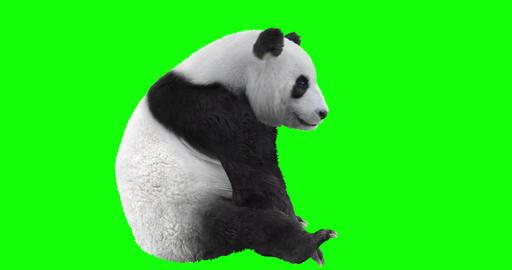 Panda Bear Looping Gaits CG動画