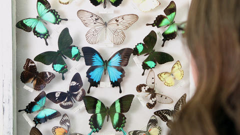 Over the shoulder view of person looking at butterfly collection Live Action