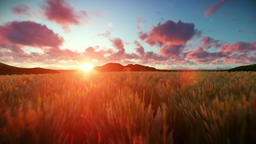 Wheat field against beautiful timelapse sunset, camera fly Animation