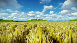 Wheat field against beautiful timelapse clouds, camera fly Animation