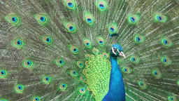 Beautiful peacock close-up Footage
