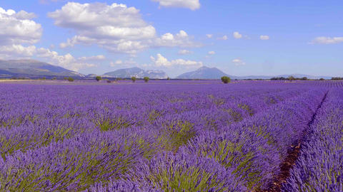 The lavender fields of Valensole Provence in France Live Action