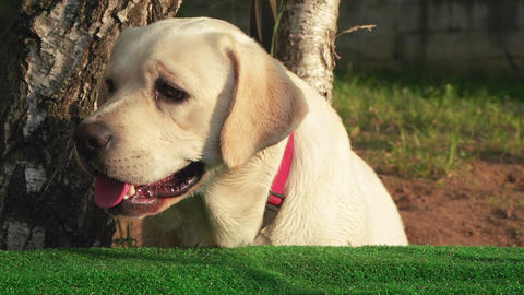 Labrador retriever in the setting Live Action