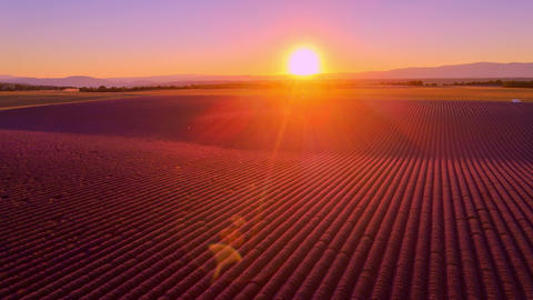 Amazing sunset over the lavender fields of Valensole Provence in France Live Action