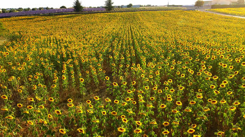 The sunflower fields in the Provence France Live Action