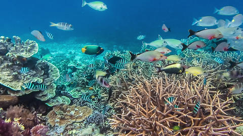 Colorful Reef Fish Swimming Above a Coral Reef in Raja Ampat Indonesia Region with the Highest Live Action