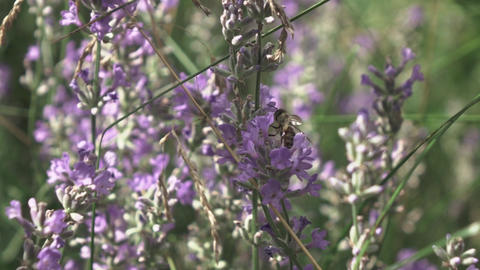 Beautiful lavender flowers with flying working bee above, close-up view Live Action