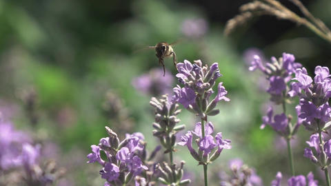 Flying bee above blooming twigs of beautiful lavender flowers Live Action