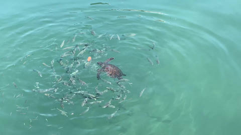 Turtle eating shrimp in ocean waters with circle of fish swimming around Live Action