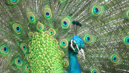 Beautifull peacock closeup Footage