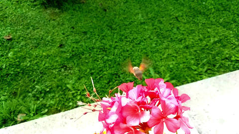 Hummingbird Hawk-Moth Flying Near Pink Flowers Live Action