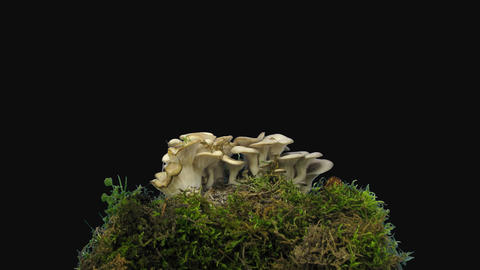Time-lapse of growing oyster grey mushroom, 4K with ALPHA channel GIF