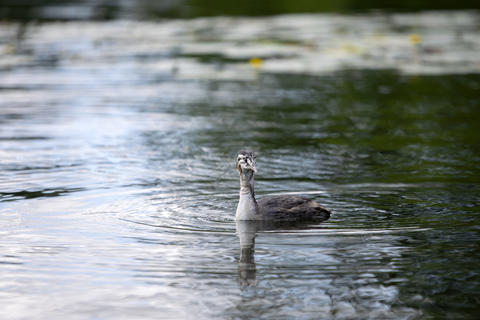 Close Up Of Great Young Crested Grebe At Amsterdam The Netherlands 20-7-2020 Photo