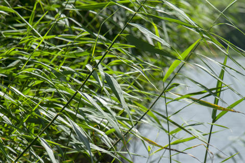 Close Up Of Green Reed At Weesp The Netherlands 20-7-2020 フォト
