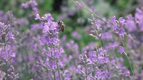 Blooming lavender with flying working honey bee above flowers ライブ動画