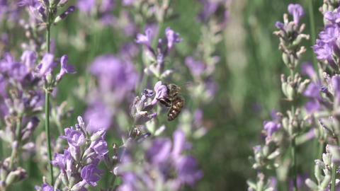 Working bee is gathering honey or pollen from beautiful lavender flowers Live Action