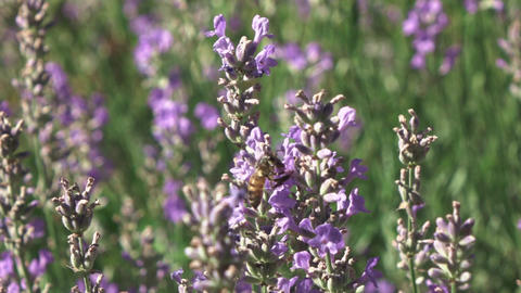 Close-up slow video with flying working honeybee above lavender flowers Live Action