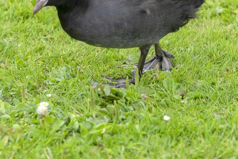 Foot Of Eurasian Coot Walking At Amsterdam The Netherlands 29-7-2020 フォト