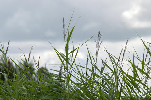 Reed Along A River At Amstelveen The Netherlands 29-7-2020 フォト