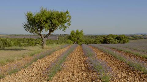 The lavender fields of Valensole Provence in France Acción en vivo