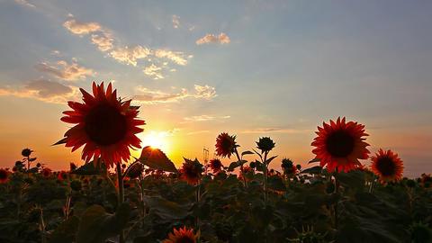 Flowering Sunflowers Landscape 26 Live Action