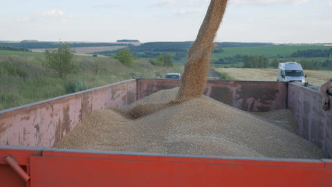 Seasonal harvesting of grain crops. Filling grain in the truck trailer after Live Action