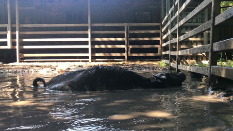 Buffalo bathes in a puddle at the zoo Live Action