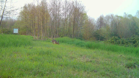 Vide View of an European Hare, Lepus Europaeus, Running in a Green Grass Meadow Live Action