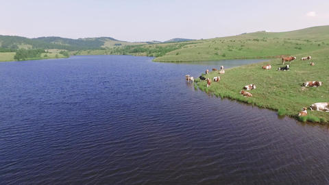 Aerial View of Cows on Meadow and in Lake Water, Zlatibor Mountain, Serbia ライブ動画