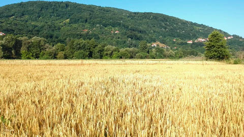 Aerial View of Golden Wheat Agricultural Field in Countryside of Serbia Live Action