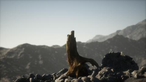 Dead pine tree at granite rock at sunset GIF