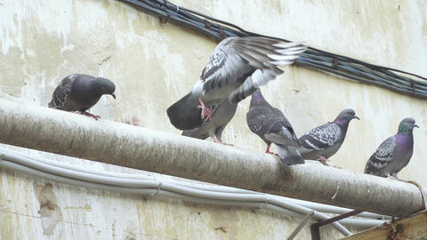 Pigeons sit on the gas pipes ライブ動画