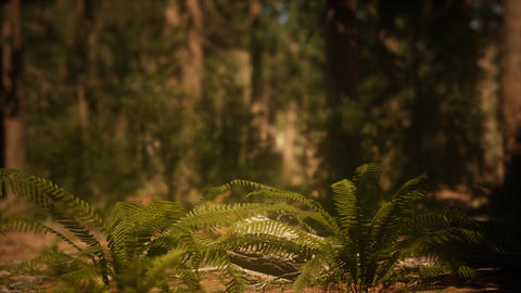 Early morning sunlight in the Sequoias of Mariposa Grove GIF